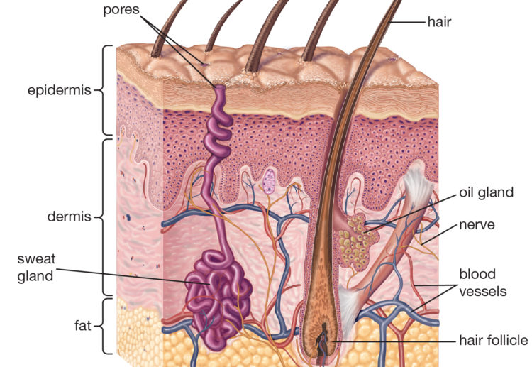 cross-section-skin-structures-1